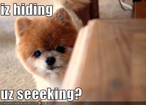 hide and seek puppy pomeranian - 3561348352