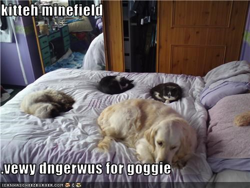 bed,Cats,dangerous,golden retriever,Hall of Fame,kitteh,minefield,sleeping