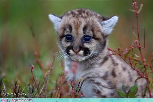 cougar face head