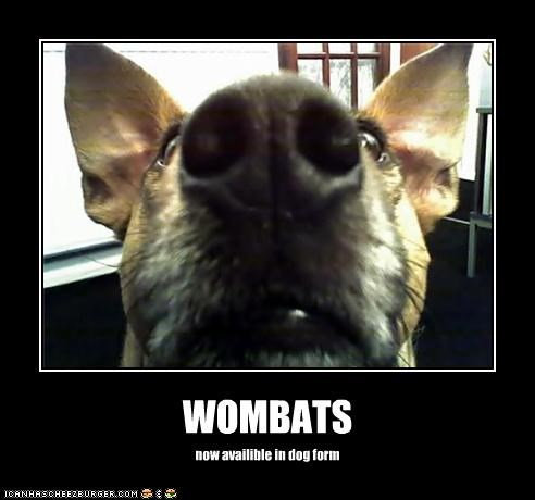 WOMBATS now availible in dog form