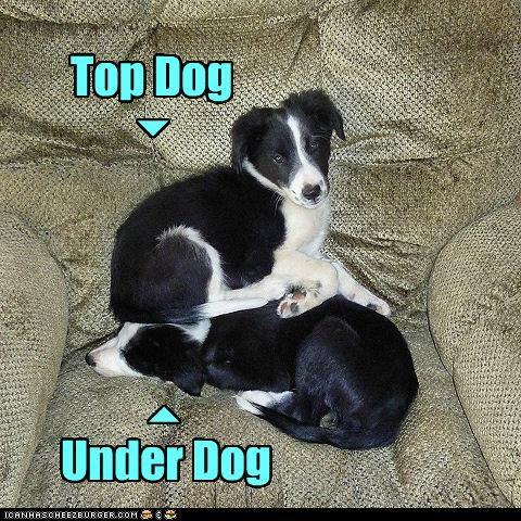 border collie chair puppy sit top dog underdog - 3579451904