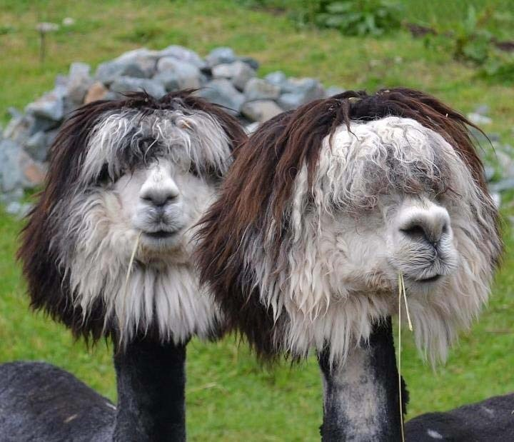 funny alpacas hairstyle