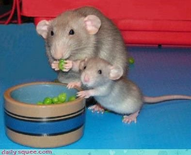 noms rat squee spree - 3585461760