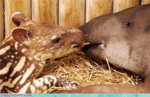 baby,cute,tapir