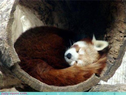 firefox nerd jokes red panda - 3586827008