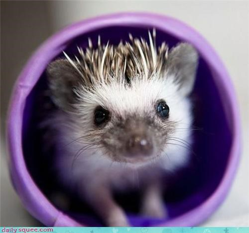 boopable,face,hedgehog