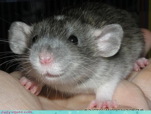 boopable rat squee spree - 3586891008