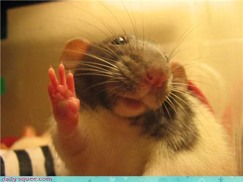 face rat squee spree - 3586933248