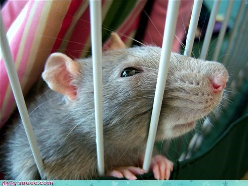 Labraday rat squee spree - 3588033792