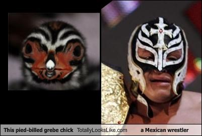 animals bird chick mask mexican wrestler pied-billed grebe sports wrestler