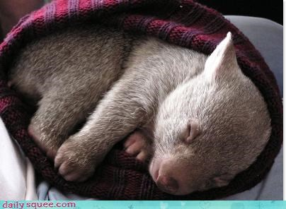 baby sleepy Wombat - 3590470400