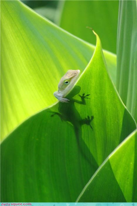 gecko lizard plant - 3592815360