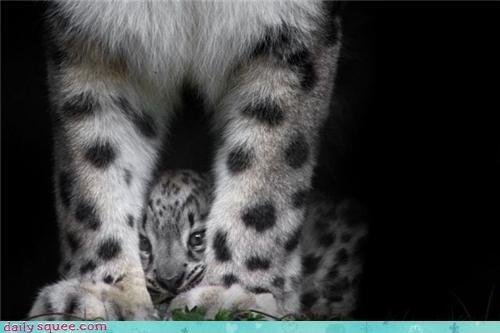 cub kitten snow leopard