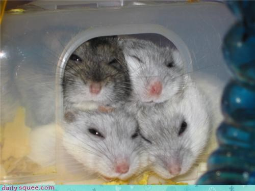 mouse,rodent,smoosh