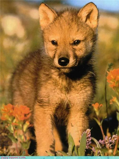 Fluffy Friday puppy wolf - 3596890880