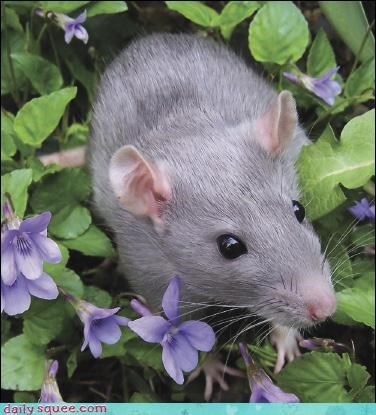 Flower rat ratty - 3597072128