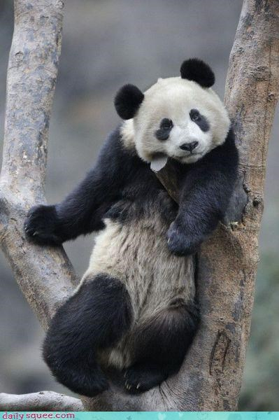 dance lazy panda - 3597510400
