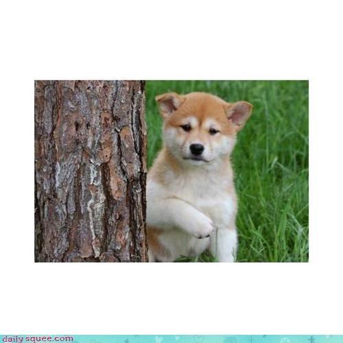 Labraday puppy shiba inu - 3598306560