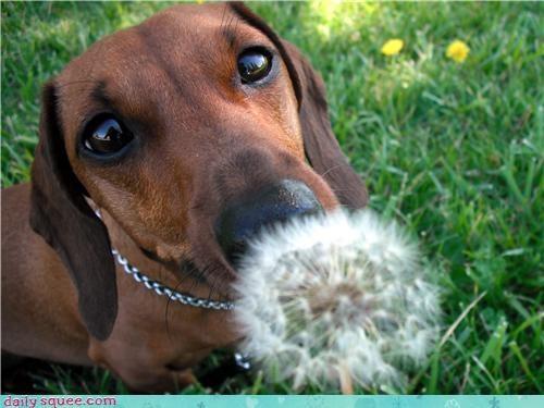 dachshund Flower puppy - 3599227136