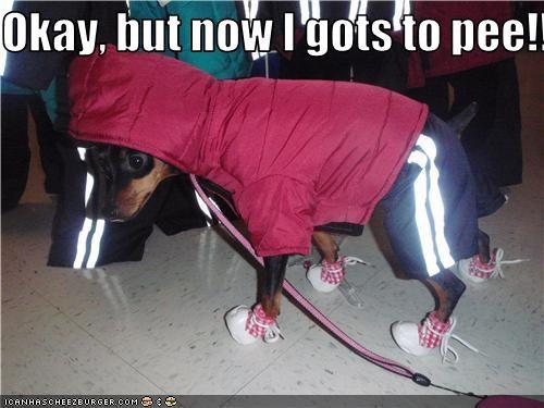 dress up jogging miniature pinscher pee - 3599754752
