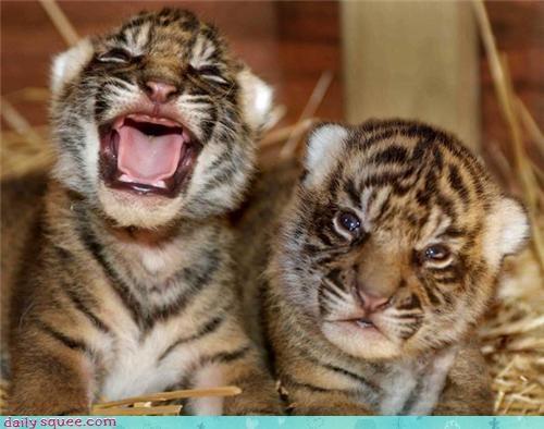 cub kitten tiger - 3606694656
