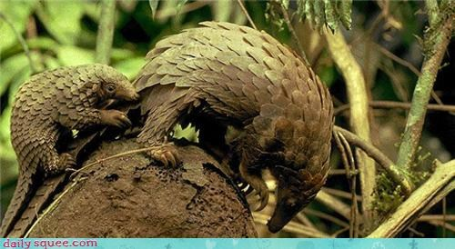 baby Pangolin whatsit wednesday - 3607055616
