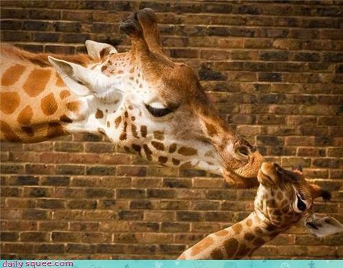 baby,face,giraffes