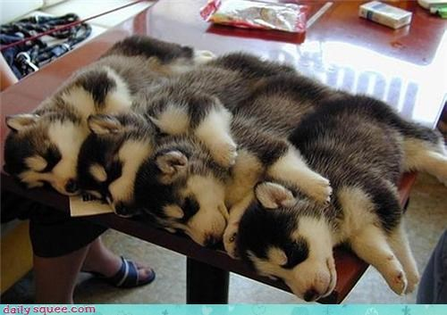 husky,sleeping,table
