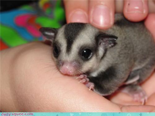 baby,sugar glider,tiny