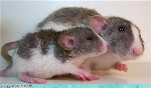baby rat squee spree
