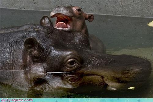 baby face hippo - 3614483456