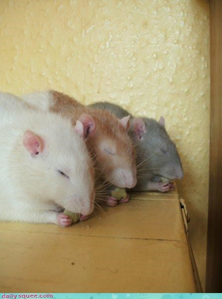 noms rats squee spree - 3617910272