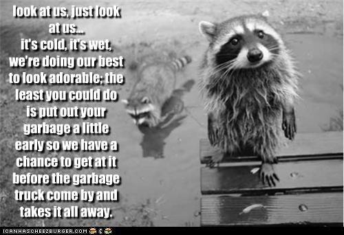 fud garbage lolraccoons nom nom nom raccoon want - 3617917440