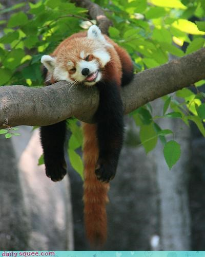 face red panda Voltron Squee - 3619008512