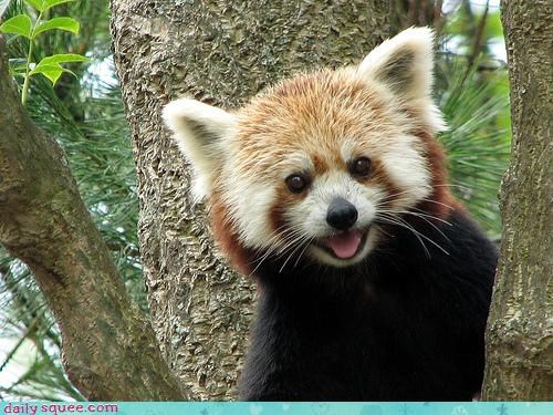 cute face red panda - 3621352192