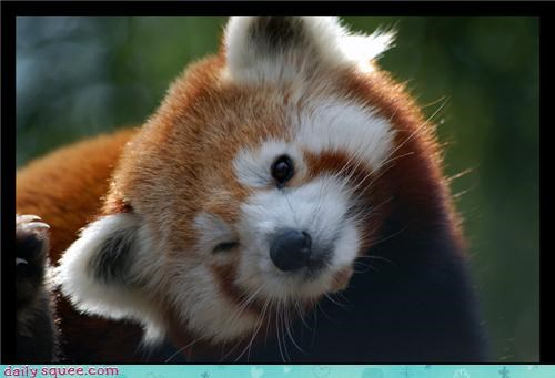dem ears Fluffy Friday red panda - 3621356288
