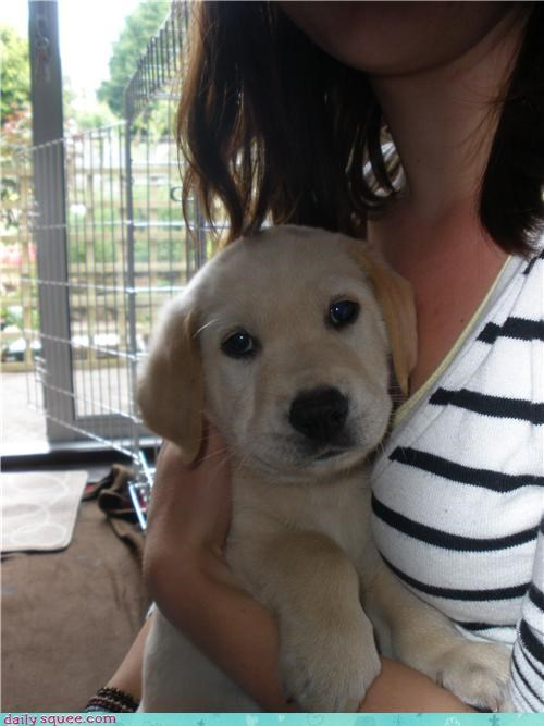 lab Labraday puppy - 3625133056
