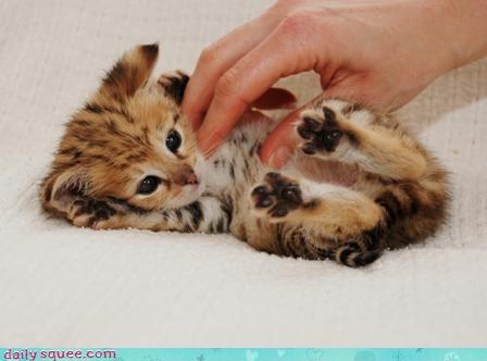 boopable kitten tickle - 3626399744