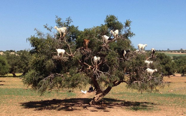 THE TREE GOATS OF MOROCCO
