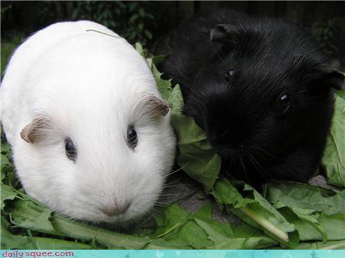 black,guinea pig,white