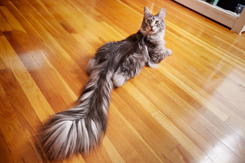 cat wins world record for the longest tail in the world