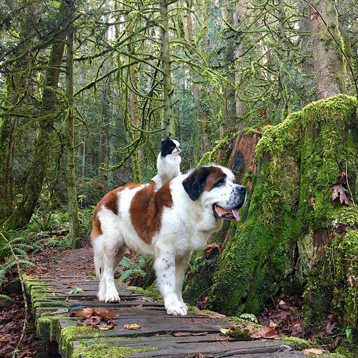 tiny dog and a giant saint bernard are great friends