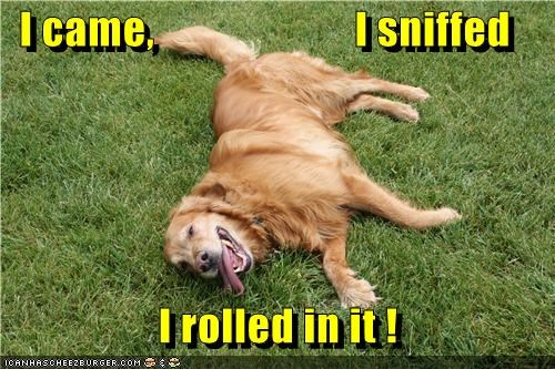 golden retriever grass Hall of Fame happy outside roll sniff