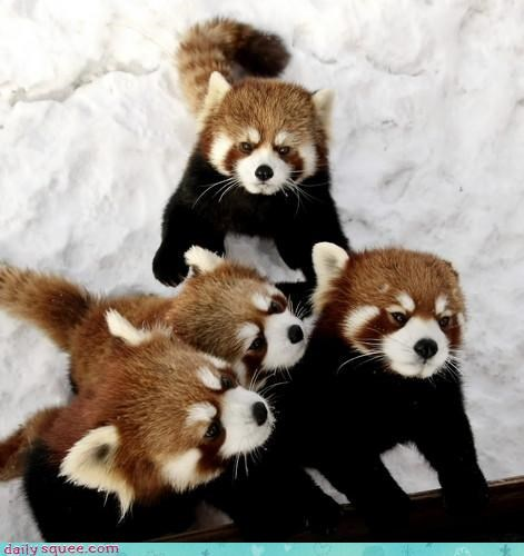 cute hungry red panda - 3630832640