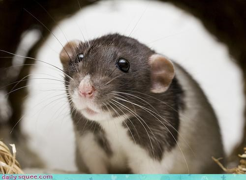 boopable face rat - 3630841856