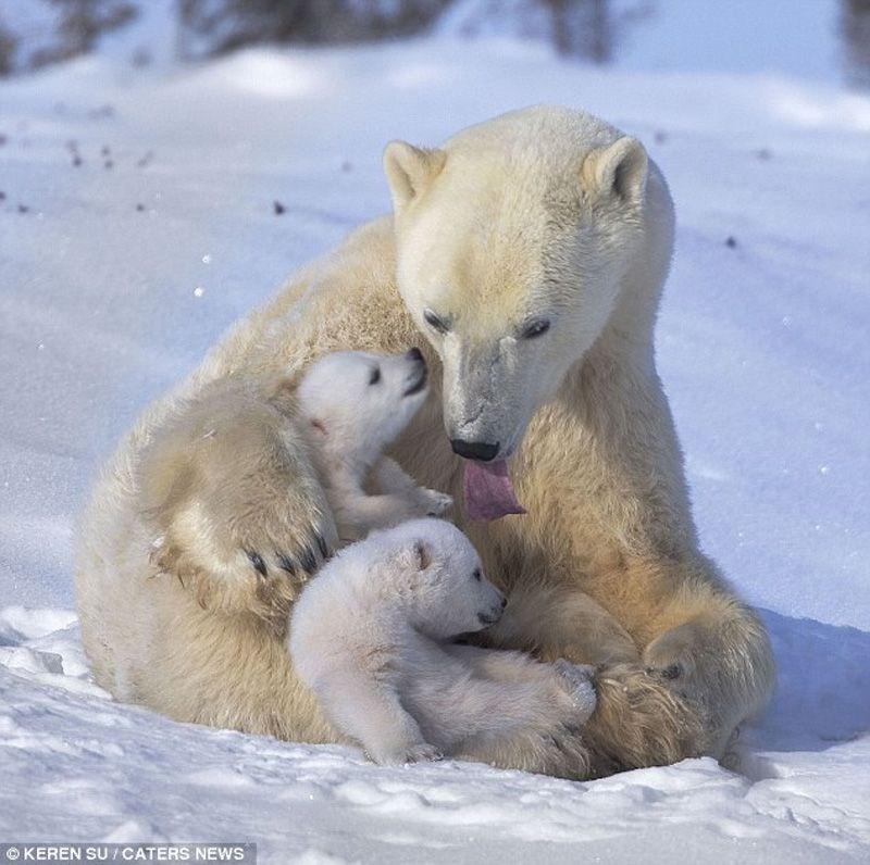 photos of a polar bear family