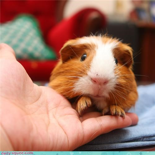boopable Fluffy Friday guinea pig - 3631584256