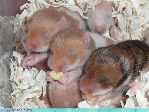 blind,hamster,noms