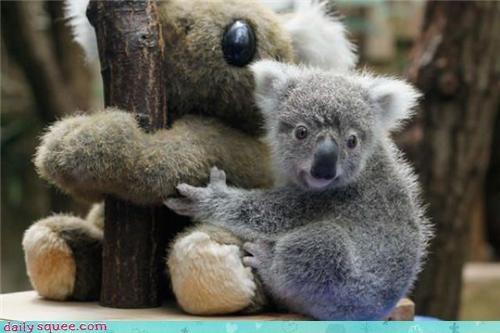 baby,koala,squee spree