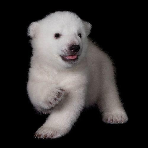 polar bear,cub
